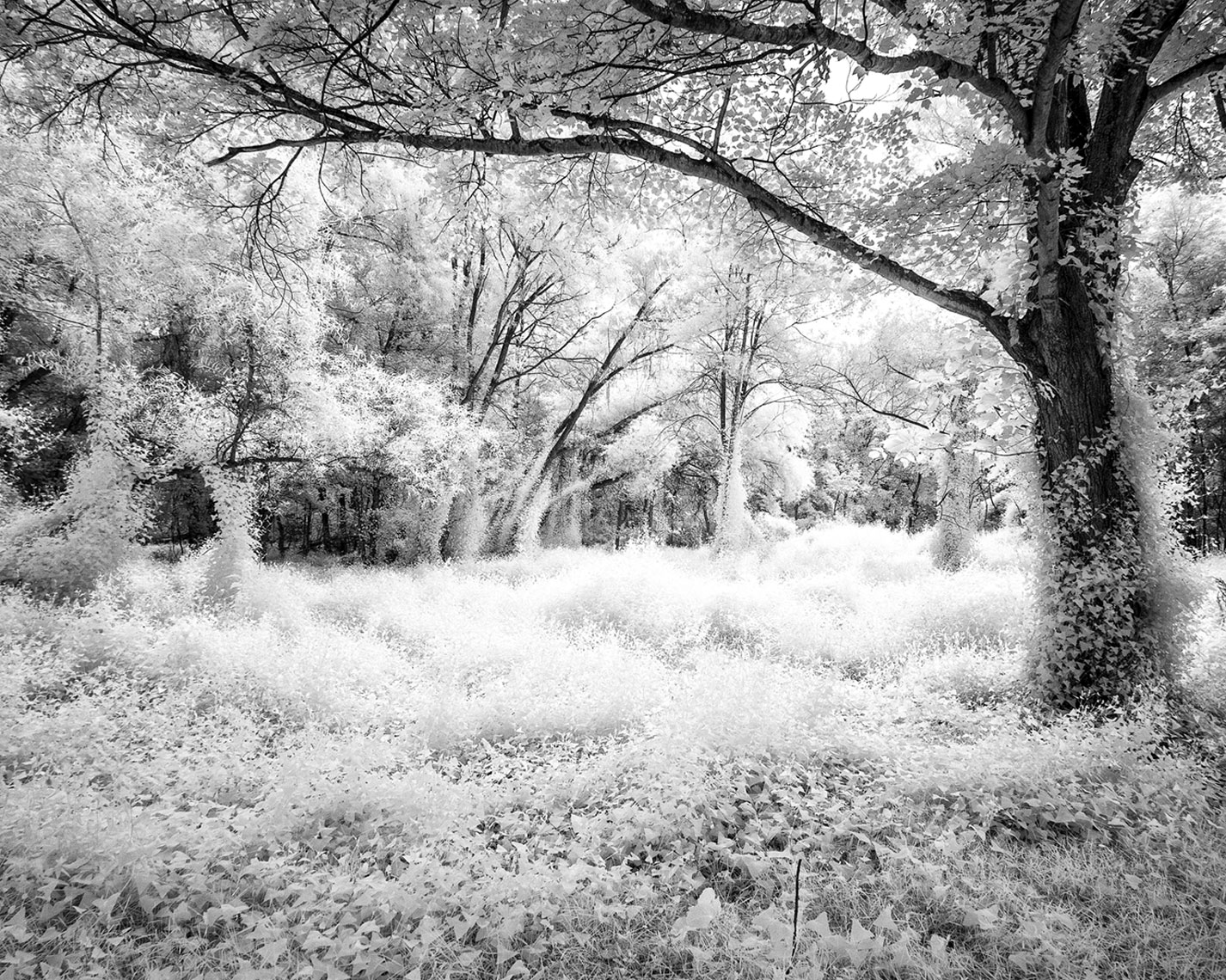 Infrared Tree Series   Untitled #3
